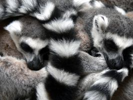 Lemurs I by FlutterbyKeir