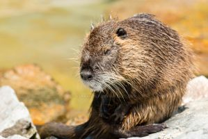 Nutria_07 by Barakwolf