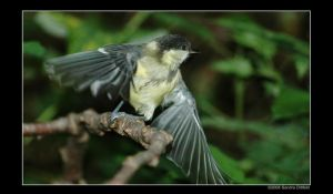Young great tit by grugster