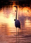 proud flamingo by Yair-Leibovich
