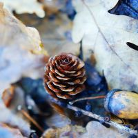 Pine cone by BlueColoursOfNature