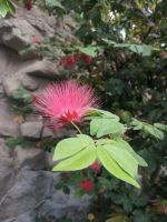 Mimosa Tree Flower by Metacharis