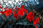 Red Vine by Lanzie