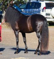 STOCK - 2014 Andalusian Nationals-9 by fillyrox