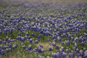 Texas Blue Bonnets 1 of 3 by AquaVixie