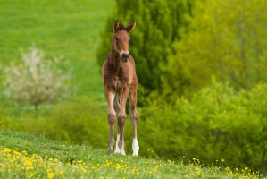 Little 'Donkey' Warmblood Foal Stock 6 by LuDa-Stock