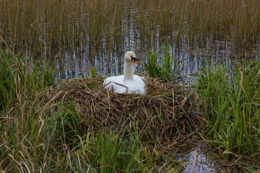 Nesting Swan by D-Maxey