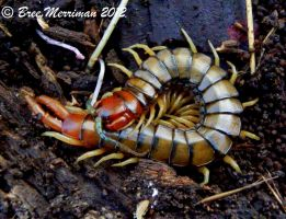 Centipede V by BreeSpawn