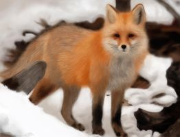 Fox in the Snow by celemicele