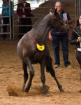 STOCK - 2014 Andalusian Nationals-98 by fillyrox