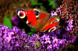 Peacock butterfly by xxhtloverxx