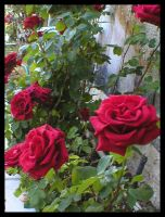 My Red Rose Bush by laurichg