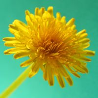 dandelion 1 by evelynzee