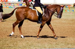 Show chestnut walk ridden by Chunga-Stock
