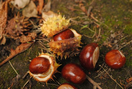 Chestnuts. by Akatamy