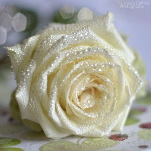 White rose with water drops by =FrancescaDelfino