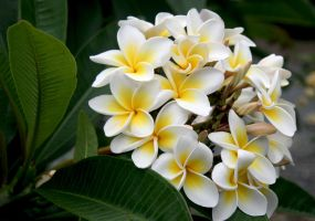 Another White Frangipani.. by Firey-Sunset