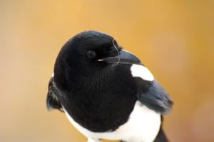 Peanutty Magpie by WanderingAlbatross
