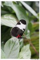 Sapho Longwing Butterfly by Tazzy-