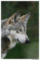Mexican Wolf 5 by Tazzy-