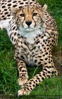 Cheetah.. by mym8rick