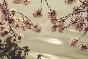 Cherry blossoms y tidal basin by JayyQuayy