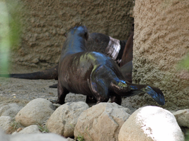 Giant River Otter by photographyflower