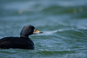 BAP - Common Scoter 4 - Red Listed Species by dea1h