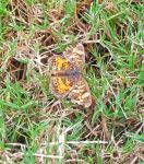 Pearl Crescent 2 of 2 by RavensReflection