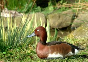 Ferruginous Duck by April-Snowflake