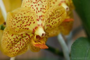 Yellow Orchid by Daan-NL