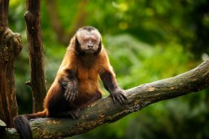 Tufted Capuchin by JoycelynSiew