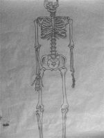 the human skeleton. by thunderstorm151