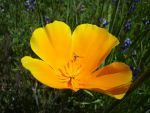 California Poppy With Insect by AskGriff
