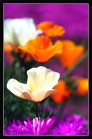 Poppy Perfect by shutterbugmom