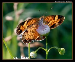 Pearl Cresent in Backlight by boron