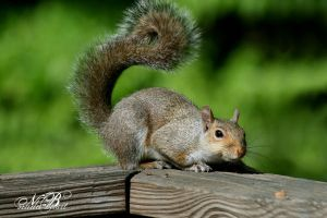 Crouching squirrel, hidden nut by Silver-Dew-Drop