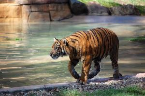 Tigers at Dreamworld 2 by DanielleMiner