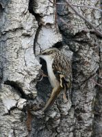 Brown Creeper by sgt-slaughter