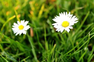 Daisies 2 by Manonvr