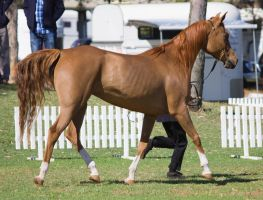 STOCK - TotR Arabians 2013-188 by fillyrox