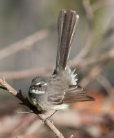 Grey Fantail 03 by 88-Lawstock