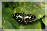 butterfly by DiveSurfer
