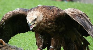 golden eagle 1 by Kristinaphoto