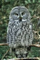 Great Gray Owl by La-Vita-a-Bella