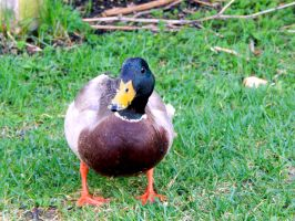 DUCKS IN MY FRONT YARD 11 by sharkbaits