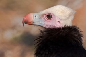 white headed vulture 1 by GerbenT