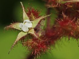 Japanese Wineberry... by clochartist-photo