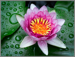 Lotus Flower by Mogrianne