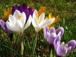 Crocuses II by rah87